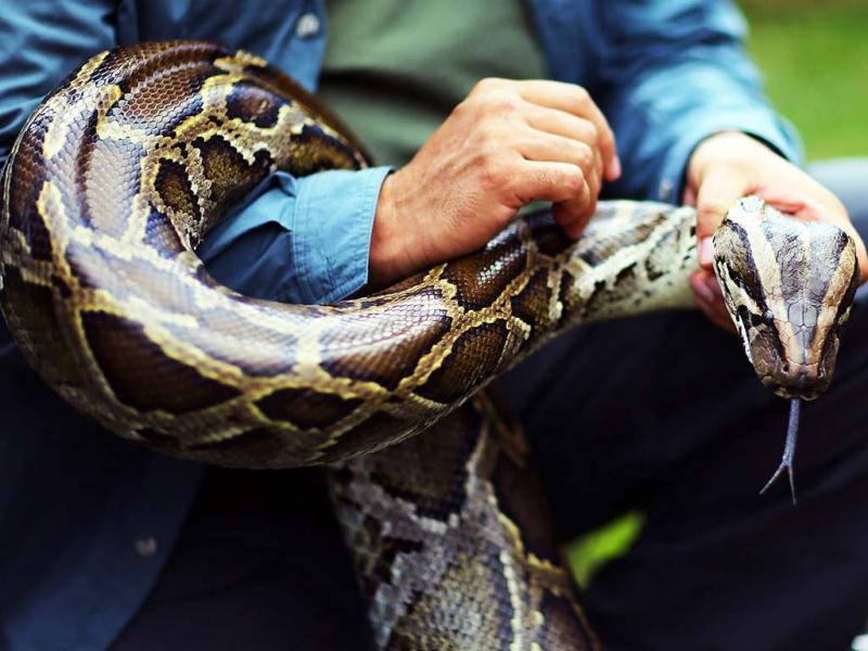A Burmese python is held by Jeff Fobb at the 2013 Python Challenge in Florida. Nearly 800 people signed up for the month-long contest that offers cash prizes of $1,000 for catching the longest snake and $1,500 for catching the most. (AFP Photo)