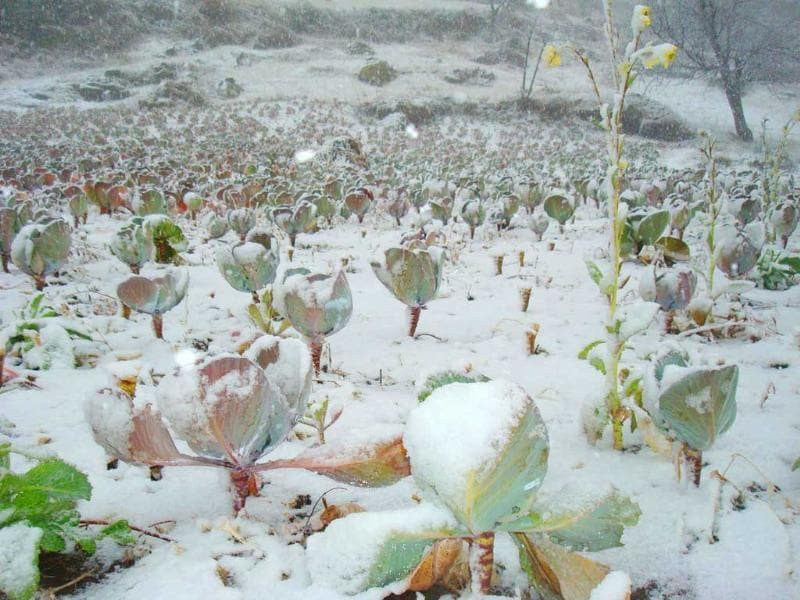 Fields of cabbage covered with snow during snowfall in Uttarkashi. HT