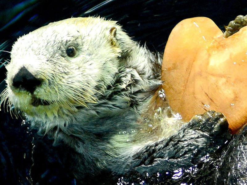 Alaskan sea otter 'Yutan' swims as he holds a heart-shaped pice of ice given to him by his keeper at the aquarium at the Hakkeijima Sea Paradise amusement park in Yokohama, suburban Tokyo. AFP photo
