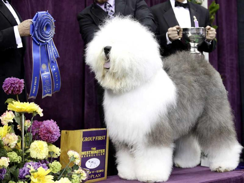 Swagger, an Old English Sheep Dog, is posed for photographs after winning the hearding group during the Westminster Kennel Club dog show at Madison Square Garden in New York. AP Photo