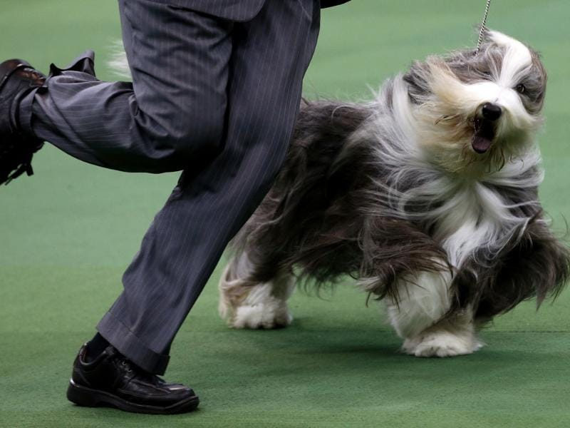 A Bearded Collie runs during competition in the Herding Group at the 137th Westminster Kennel Club Dog Show at Madison Square Garden in New York. Reuters/Mike Segar