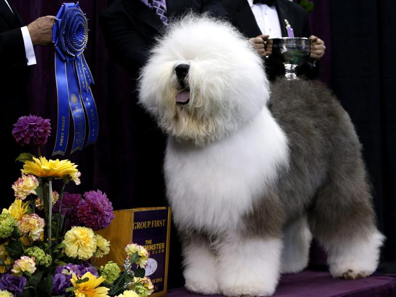 Swagger, an Old English Sheepdog, poses for photographers after winning the Herding Group during competition at the 137th Westminster Kennel Club Dog Show at Madison Square Garden in New York. Reuters/Mike Segar