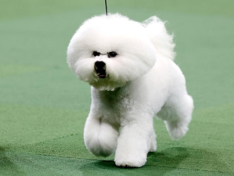 Honor, a Bichon Frise from Goshen, Indiana, winner of the Non-Sporting Group, runs during competition at the 137th Westminster Kennel Club Dog Show at Madison Square Garden in New York. Reuters/Mike Segar