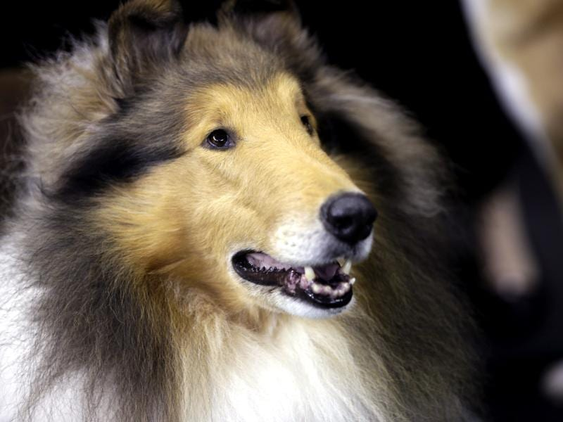 A rough collie waits to compete in the hearding group during the Westminster Kennel Club dog show at Madison Square Garden in New York. AP/Frank Franklin II