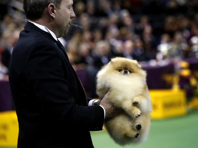 A Pomeranian is carried by its handler to be judged during competition in the Toy Group at the 137th Westminster Kennel Club Dog Show at Madison Square Garden in New York. Reuters/Mike Segar