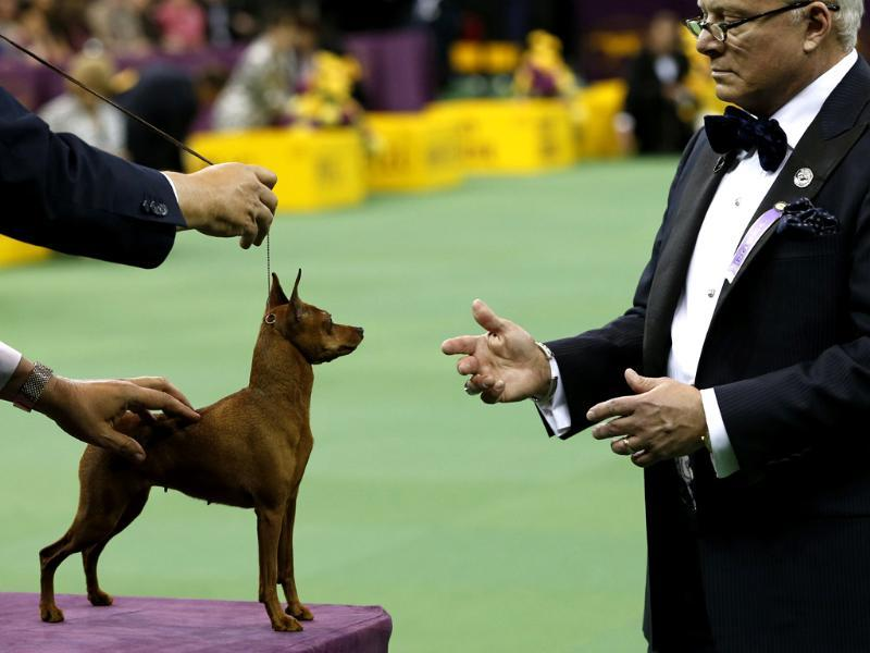 A Miniature Pinscher is judged during competition in the Toy Group at the 137th Westminster Kennel Club Dog Show at Madison Square Garden in New York. Reuters/Mike Segar