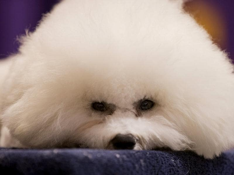 A Bichon Frise rests before competing in the The Westminster Kennel Club Dog Show at Madison Square Garden in New York. AP/Frank Franklin II