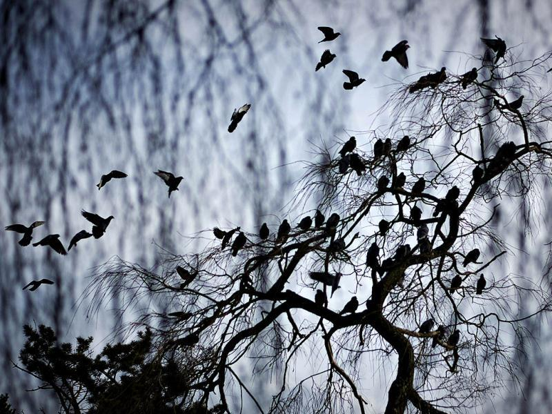 Pigeons gather on a tree in Ambleside Park along the waterfront of West Vancouver, British Columbia. (Reuters)