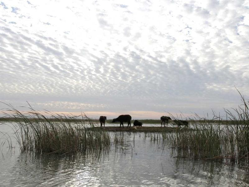 A herd of buffaloes gather by the waters of the Chebayesh marsh in Nassiriya, 300 km (185 miles) southeast of Baghdad. (Reuters)