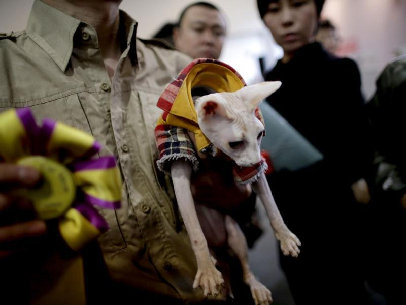 An awarded cat is taken to the stage by a worker at Shanghai Pet Fair in Shanghai, China. (AP)