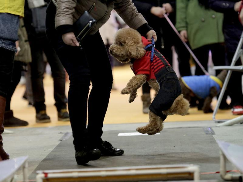 An owner lifts her dog for the obstacle race at Shanghai Pet Fair in Shanghai, China. (AP)