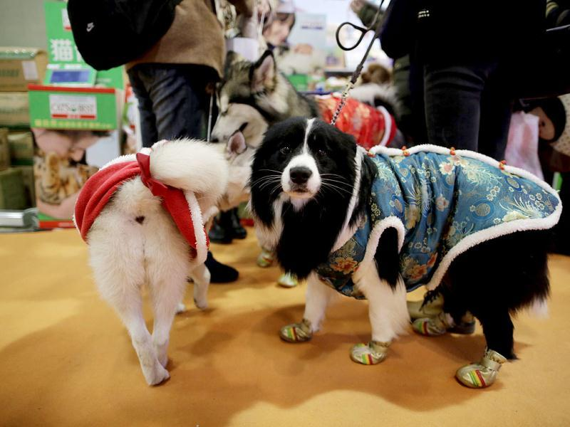 Dogs on the dress depicting Chinese traditional clothing hang out at Shanghai Pet Fair in Shanghai, China. (AP)