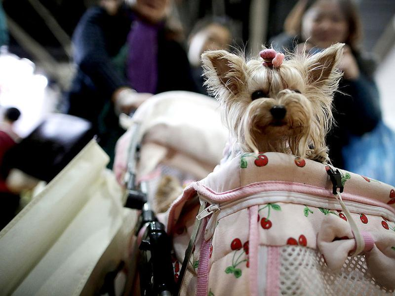 A dog is carried at a baby carriage at Shanghai Pet Fair in Shanghai, China. (AP)