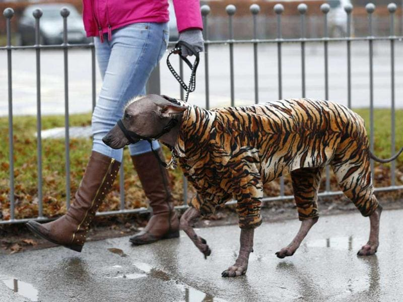 A dog arrives wearing a tiger print coat during the first day of the Crufts Dog Show in Birmingham, central England. REUTERS