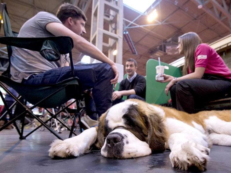 A Saint Bernard dog rests during the first day of the Crufts dog show in Birmingham, in central England. The annual event sees dog breeders from around the world compete in a number of competitions with one dog going on to win the
