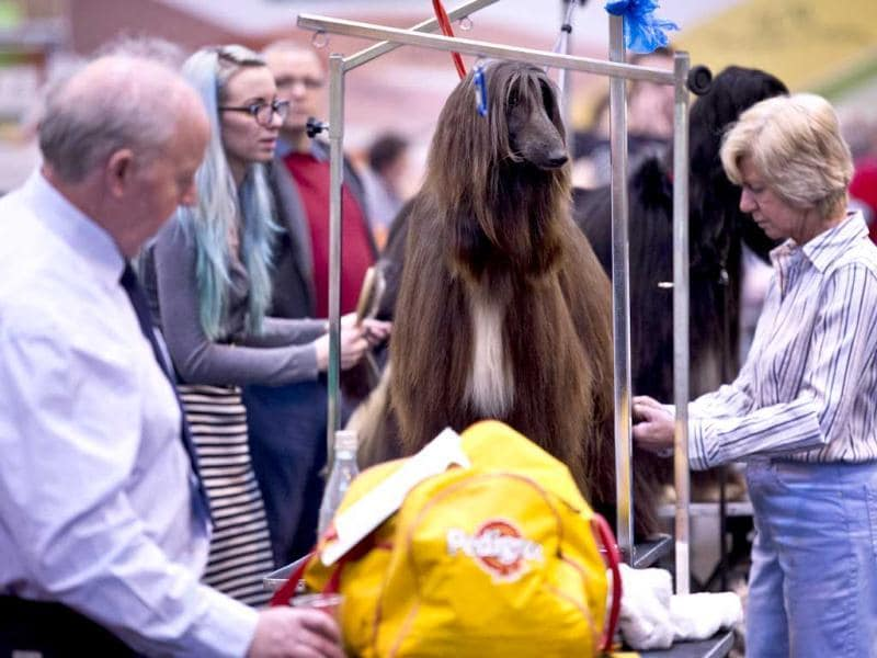An Afghan Hound is groomed during the first day of the Crufts dog show in Birmingham, in central England. The annual event sees dog breeders from around the world compete in a number of competitions with one dog going on to win the