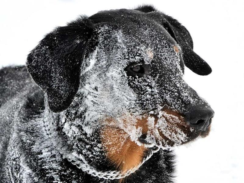 A Beauce Sheep dog covered by snow is pictured in Godewaersvelde, northern France, after a heavy snow storm. (AFP)