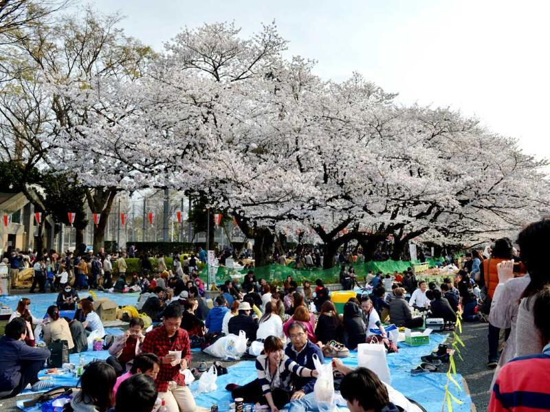 People hold a party under fully bloomed cherry blossom trees in Tokyo. Tokyo's cherry blossom trees were in full bloom on March 22, Japan's weather agency said, marking the second earliest blossoming in the capital on record. AFP/Kazuhiro Nogi