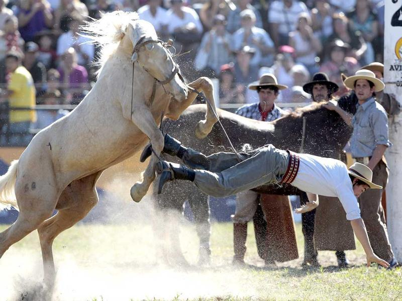 A gaucho falls from a wild horse during the annual celebration of Criolla Week in Montevideo A gaucho falls from a wild horse during the annual celebration of Criolla Week in Montevideo. (Reuters)