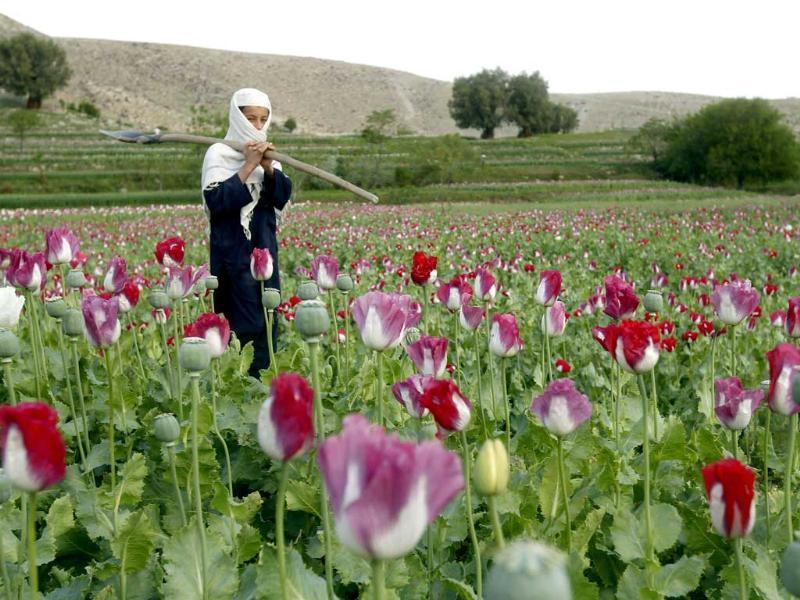 A boy walks at a poppy field in Jalalabad province, Afghanistan. Reuters photo