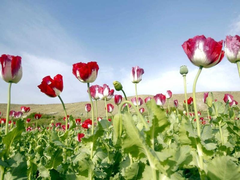 Poppy flowers are seen in full bloom in a field in the eastern province of Jalalabad, Afghanistan. Reuters photo