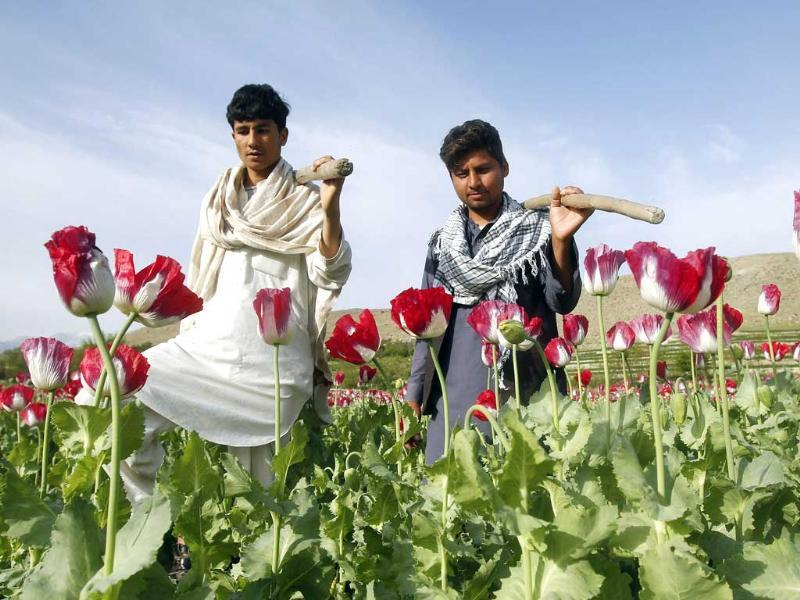 Farmers walk at a poppy field in Jalalabad province, Afghanistan. Reuters photo