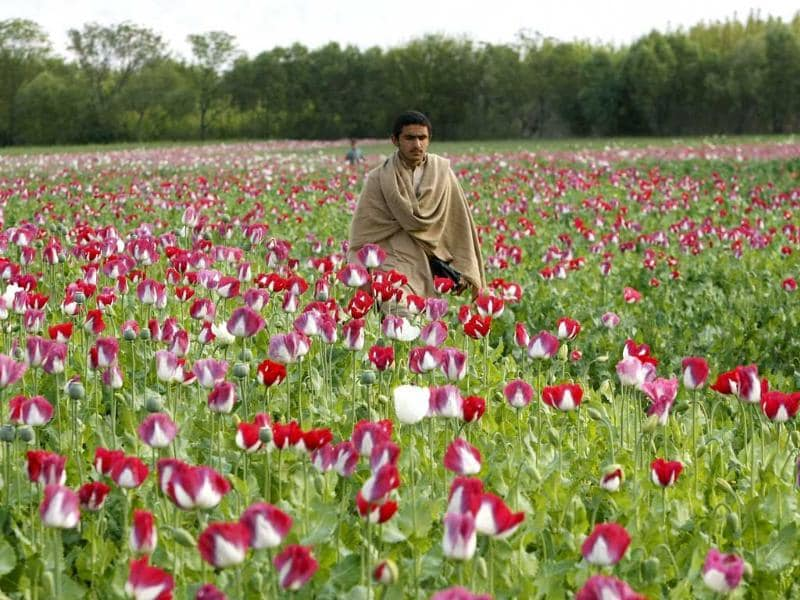 A man walks in a poppy field in Jalalabad province, Afghanistan. Reuters photo