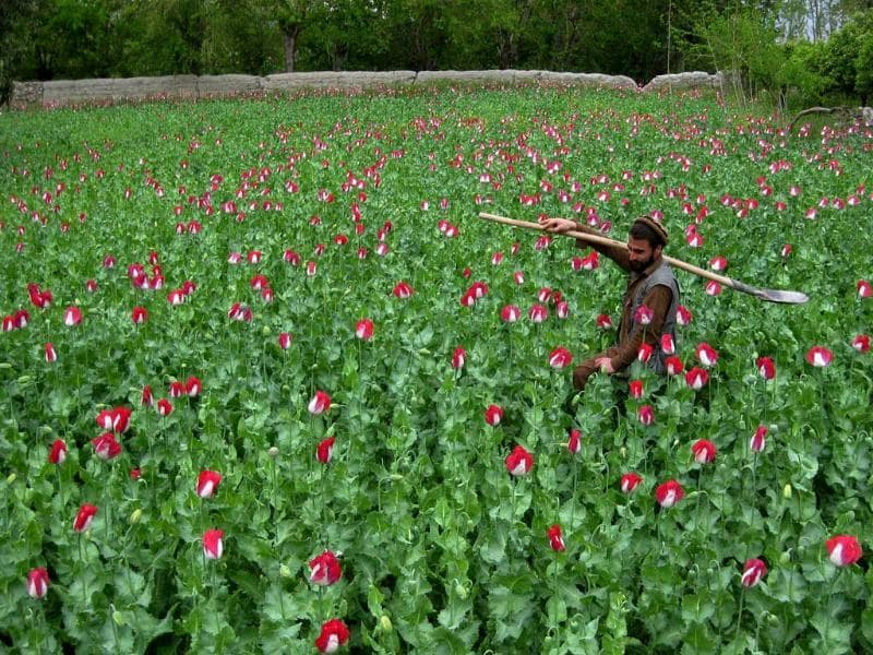 A farmer works in his poppy field in the Khogyani district in eastern Nangarhar province, Afghanistan. AFP photo