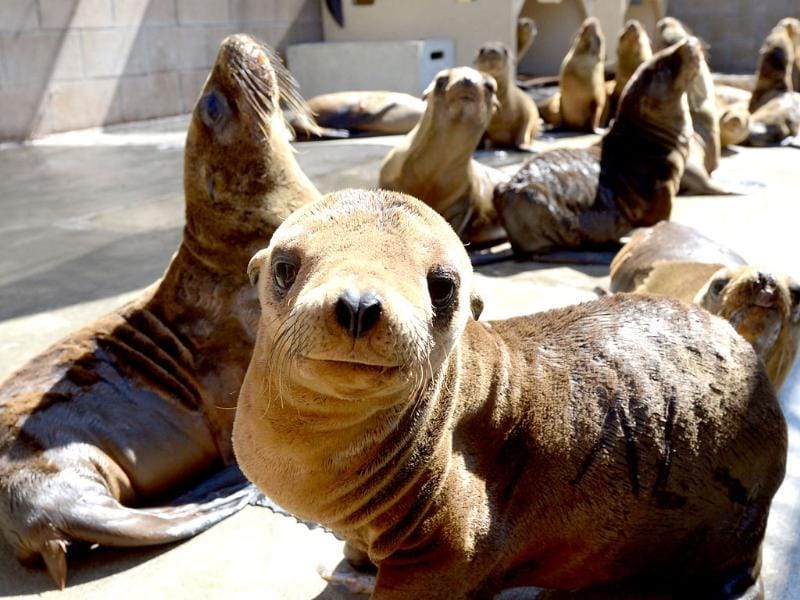 Malnourished sea lion pups recover at the Marine Mammal Care Center at Fort MacArthur in San Pedro, California. Sickly emaciated sea lion pups have been turning up on California's coastline in unusually high numbers since January, with live strandings nearly three times higher than the historical average. (AFP)
