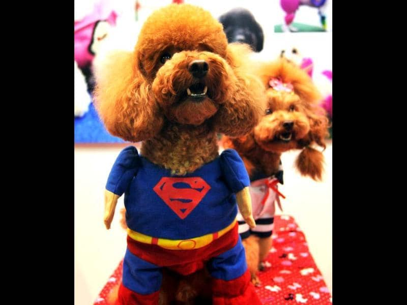 A dog is dressed in a superman costume at a pet trade fair in Taipei. AFP photo