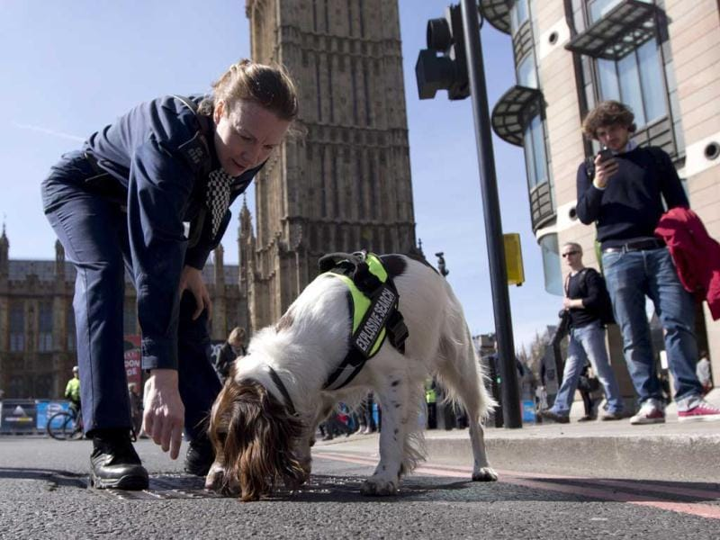 Lulu a member of a British police explosive dog search team patrols with her handler during the London Marathon. The London Marathon started in defiant mood on a glorious sunny morning Sunday despite concerns raised by the bomb attacks on the Boston Marathon six days ago. London's is the first major international marathon since the double bomb attack near the finish line in Boston, which left three people dead and more than 170 injured, including many who are still hospitalized. AP Photo