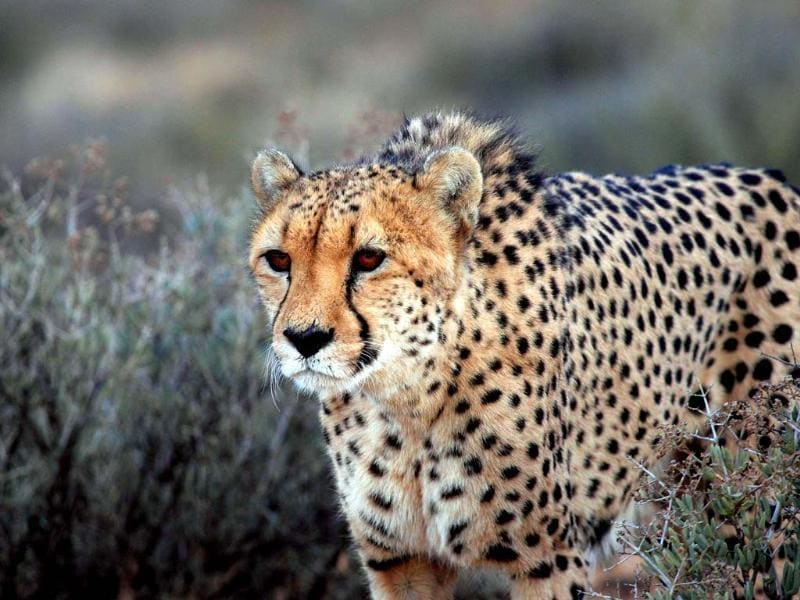A cheetah is pictured at the private game reserve of French Damien Vergnaud in Inverdoom, 200 kms north east of Cape Town. Vergnaud runs a breeding programme for cheetahs. At the beginning of the XXth century, an estimated 1,00,000 cheetahs were roaming freely in Africa and Asia to decrease to about 10,000 in the wild today. (AFP)