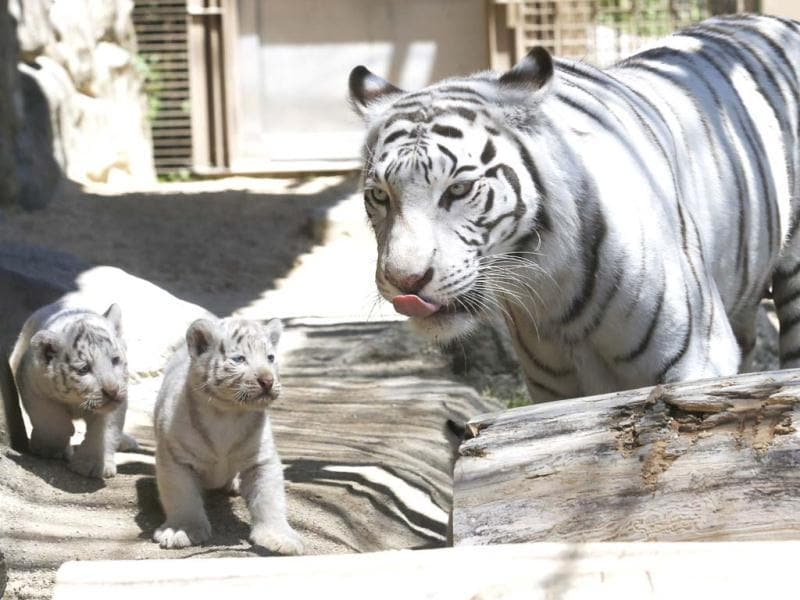 A 7-year-old white tiger stand near her cubs at Tobu Zoo in Miyashiro, near Tokyo. The four cubs - one female and three males - were born 46 days ago. Koji Sasahara/AP