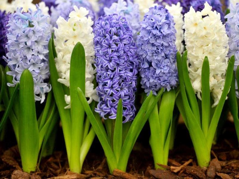 Hyacinthus orientalis flowers are displayed during the Chelsea Flower Show press day in London. AFP Photo