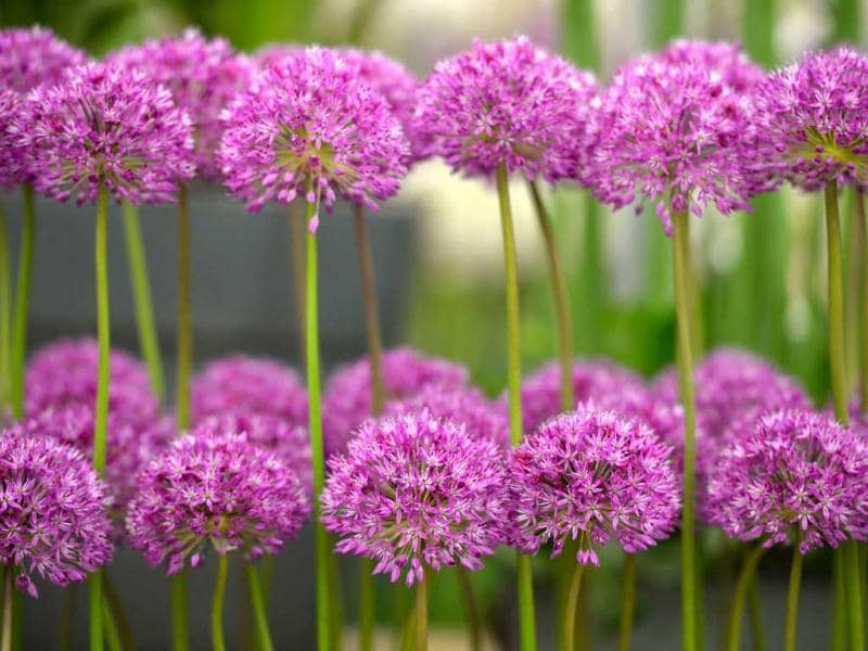 Allium flowers are displayed during the Chelsea Flower Show press day in London. AFP Photo