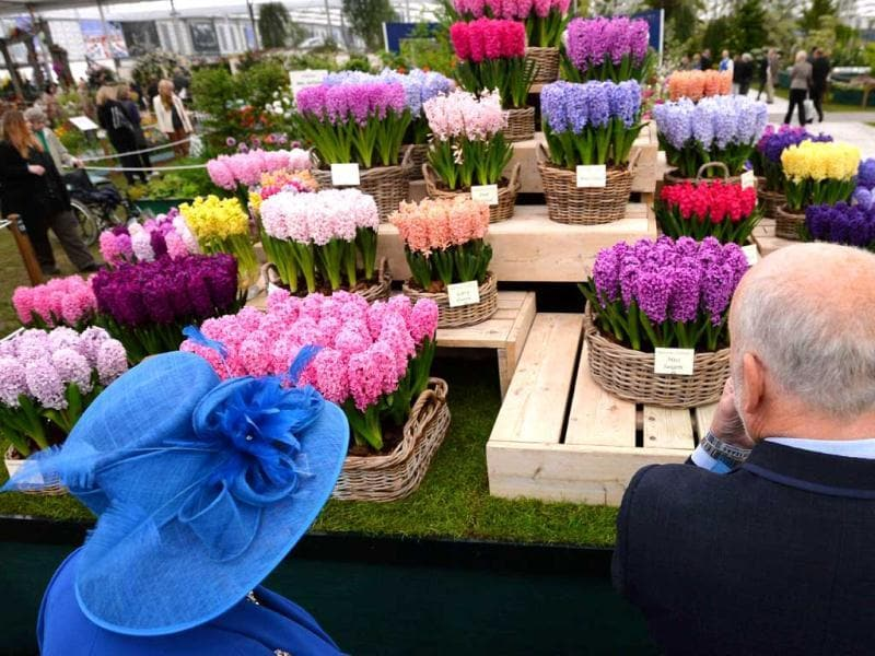 People look at Hyacinthus orientalis flowers during the Chelsea Flower Show press day in London. AFP Photo