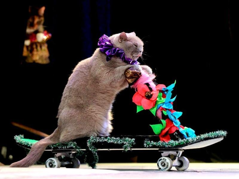 A cat performs during a show in the Moscow Cat Theatre, founded by famous Russian clown Yuri Kouklatchev, shortly before the fall of the USSR. The theatre entertains its patrons throught performances by twenty cats, a dog and a few clowns on stage. (AFP)
