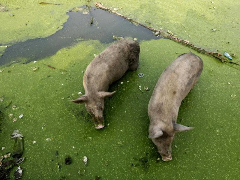 Pigs feed in a pond polluted with plastic and other garbage in Allahabad. AP Photo