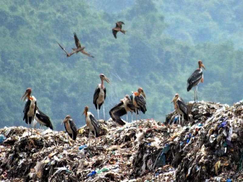 Greater adjutant Storks stand at a garbage dump in Deepor Beel wildlife sanctuary on the outskirts of Guwahati on the eve of World Environment Day. PTI Photo