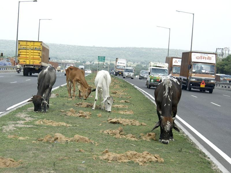 Even as thousands of vehicles ply on the Gurgaon-Jaipur Highway (NH-8), stray animals, like cows, pose a threat to commuters in Gurgaon. (Manoj Kumar/HT)