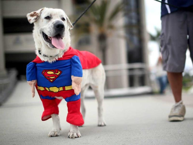 Beckham the dog sports a Superman costume during Comic Con in San Diego, California. (AFP Photos)