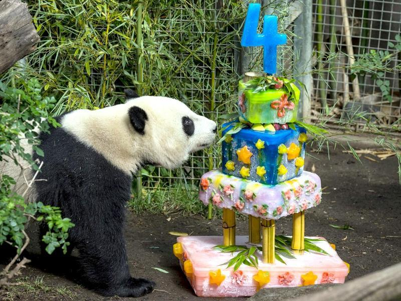 Yun Zi, a male giant panda, checks out his birthday cake at the San Diego Zoo. (AP Photo)