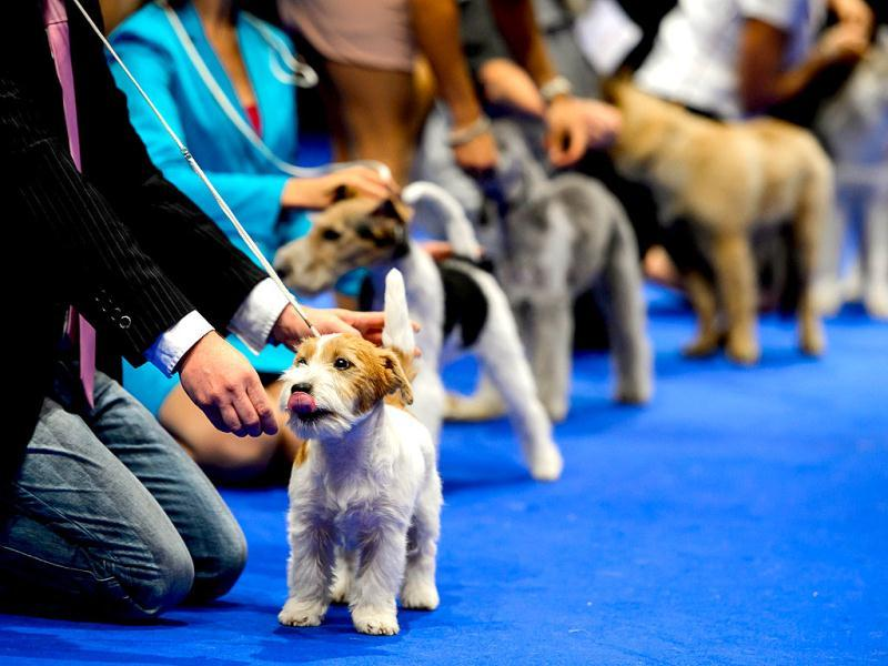 Dog waits for the award ceremony during the European Dog Show on August 30, 2013 in Geneva. AFP