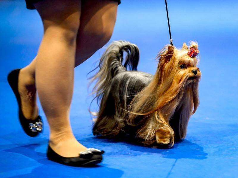 A dog parades during the European Dog Show on August 30, 2013 in Geneva. AFP