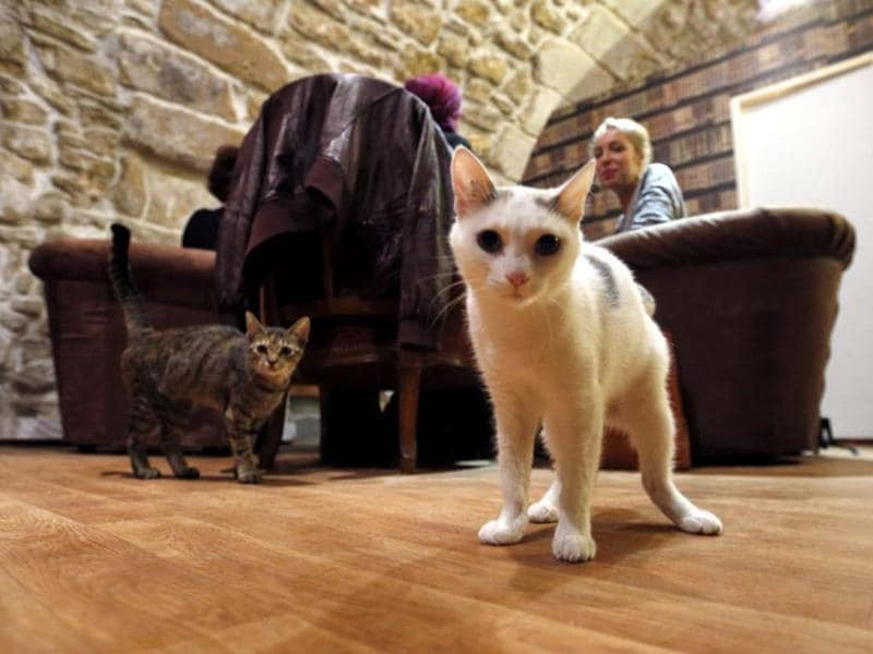 Cats walk between consumers at the Cafe des chats, the first cat cafe in Paris. The cafe allows customers to have a drink while playing with one of the cats at the premises. AFP photo