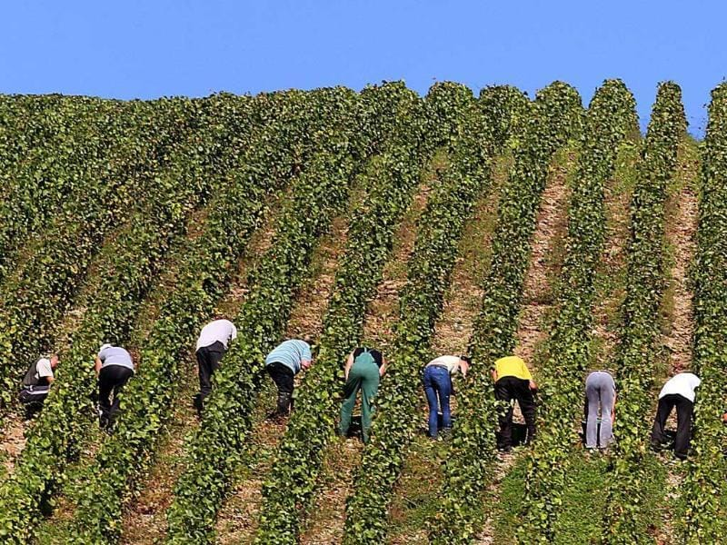 People take part in the grape harvest for the Champagne house Koza-Janot in Buxeuil. AFP PHOTO