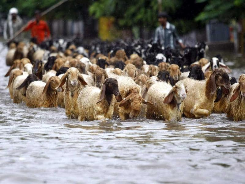 A herd of goats wade through a flooded street after heavy rains in Ahmedabad. (Reuters Photo)