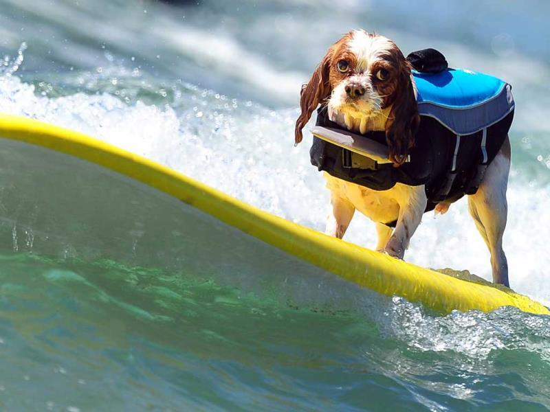 A dog rides a wave while competing during the 5th Annual Surf Dog competition at Huntington Beach, California. (AFP Photo)