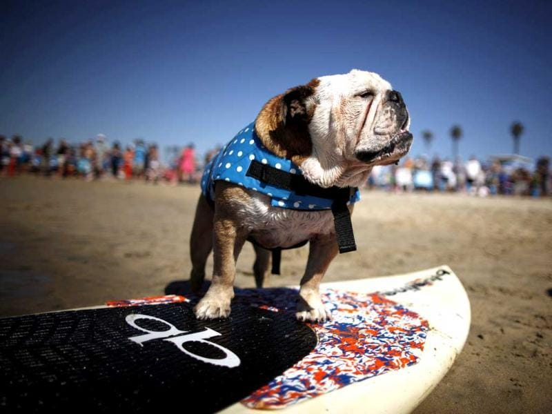 A dog prepares to compete in the 5th Annual Surf Dog Competition at Huntington Beach, California. (Reuters)