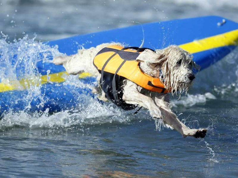 A dog wipes out while competing in the 5th Annual Surf Dog Competition at Huntington Beach, California. (Reuters)
